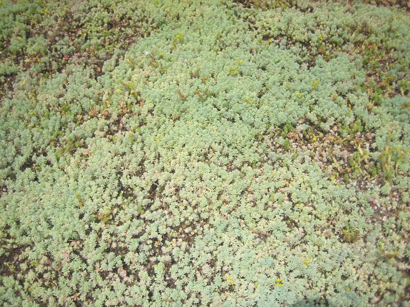 Prato pronto a rotoli Sedum erboso